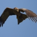 geelsnavelwouw-yellow-billed-kite-25