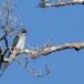 Gekuifde-boomgierzwaluw-Grey-rumped-treeswift-01