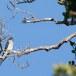 Gekuifde-boomgierzwaluw-Grey-rumped-treeswift-02