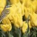 Gele-kwikstaart-Yellow-wagtail-12