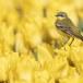 Gele-kwikstaart-Yellow-wagtail-13