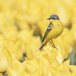 Gele-kwikstaart-Yellow-wagtail-14