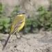 Gele-kwikstaart-Yellow-wagtail-15
