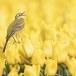 Gele-kwikstaart-Yellow-wagtail-16