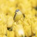 Gele-kwikstaart-Yellow-wagtail-17