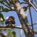 geparelde-dwerguil-pearl-spotted-owl-01