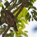 geparelde-dwerguil-pearl-spotted-owl-02