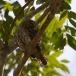 geparelde-dwerguil-pearl-spotted-owl-03