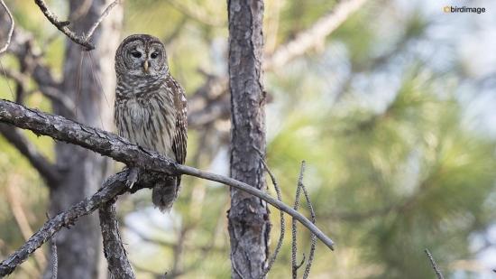 Gestreepte bosuil - Barred Owl 001