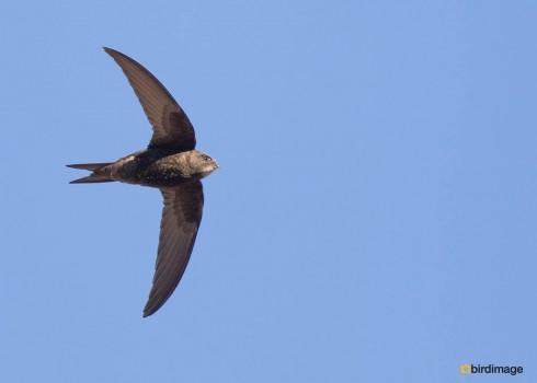 Gierzwaluw - Common Swift 10