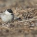 Glanskop - Marsh tit 06