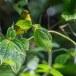 Goudbrauwbuulbuull-Yellow-browed-bulbul-02