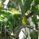 Goudbrauwbuulbuull-Yellow-browed-bulbul-03