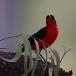 goudkapfiskaal-yellow-crowned-gonolek-05