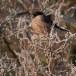 Goudvink - Bullfinch 03