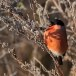 Goudvink - Bullfinch 04