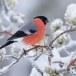 Goudvink - Bullfinch 06