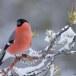 Goudvink - Bullfinch 11
