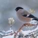 Goudvink - Bullfinch 13