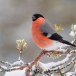 Goudvink - Bullfinch 16