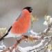 Goudvink - Bullfinch 17