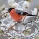 Goudvink - Bullfinch 19