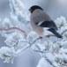 Goudvink - Bullfinch 22