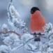 Goudvink - Bullfinch 25