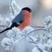 Goudvink - Bullfinch 31