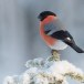 Goudvink - Bullfinch 34
