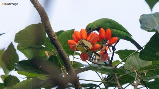 Goudvoorhoofdbladvogel-Golden-fronted-leafbird-05