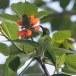 Goudvoorhoofdbladvogel-Golden-fronted-leafbird-03
