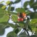 Goudvoorhoofdbladvogel-Golden-fronted-leafbird-04