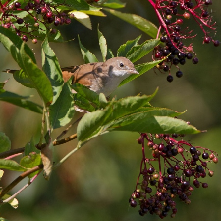 grasmus-whitethroat-05
