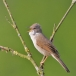 grasmus-whitethroat-06