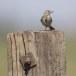 Graspieper-Meadow-pipit-12