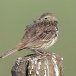 Graspieper-Meadow-pipit-13
