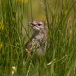 graspieper-meadow-pipit-01