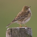 graspieper-meadow-pipit-03