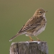graspieper-meadow-pipit-04