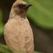 grauwe-buulbuul-common-bulbul-07