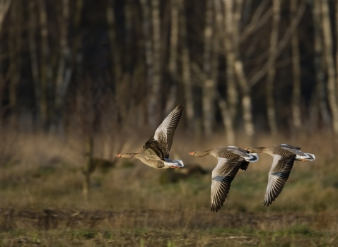 grauwe-gans-greylag-goose-04