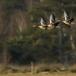 grauwe-gans-greylag-goose-05