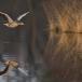 grauwe-gans-greylag-goose-06