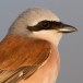 Grauwe klauwier - Red-backed Shrike 02