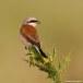 Grauwe klauwier - Red-backed Shrike 03