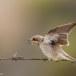 Grauwe klauwier - Red-backed Shrike 11