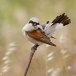 Grauwe klauwier - Red-backed Shrike 13