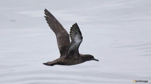 Grauwe pijlstormvogel_Sooty Shearwater 04