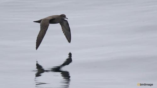 Grauwe pijlstormvogel_Sooty Shearwater 06